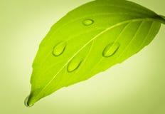Vattendroppar på leafen. Arkivbild