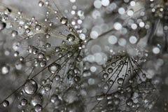 Vattendroppar på maskrosen Fotografering för Bildbyråer