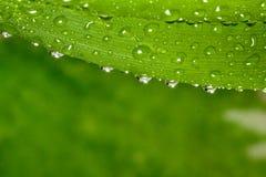 Vattendroppar på växt Royaltyfri Foto