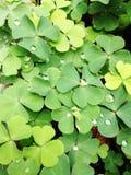 Vattendroppar på växt av släktet Trifolium för fyra blad Royaltyfri Fotografi