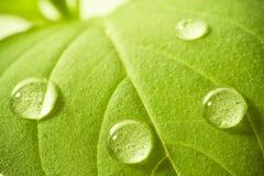 Vattendroppar på leafen. Arkivbilder