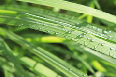 Vattendroppar på lemongrasssidor Royaltyfri Bild