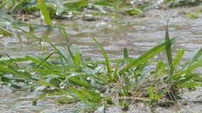 Vattendroppe på gräs i regnig dag stock video
