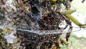 Vattendroppe på spindelnät Royaltyfria Bilder