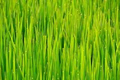 Vattendroppe som är genomblöt från risgryn. Royaltyfri Bild