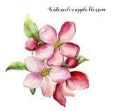 Vattenfärgäppleblomning Hand målad blom- botanisk illustration som isoleras på vit bakgrund Rosa färgblomma för royaltyfri illustrationer