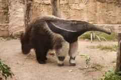 vattenfärg för hand för anteaterteckning jätte- Arkivfoton