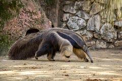 vattenfärg för hand för anteaterteckning jätte- Royaltyfri Foto