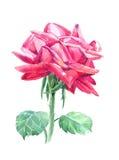 Vattenfärg med den röda rosen på en vit bakgrund Royaltyfri Fotografi