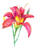 Vattenfärg med liljan på en vit bakgrund Royaltyfria Foton