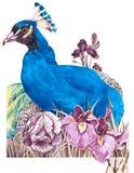 Vattenfärg med påfågeln och iriers på en vit bakgrund Arkivbilder