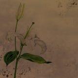 Vattenfärg som drar den vita liljan Arkivbilder