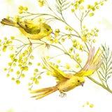 Vattenfärgbakgrund av mimosan, gul fågel Royaltyfria Foton