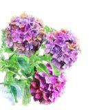 Vattenfärgbild av Hydrongea blommor Arkivfoto
