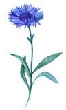 Vattenfärgblåklint Arkivfoton