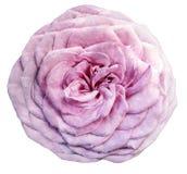 Vattenfärgblommaljus-rosa färger ros på en vit bakgrund closeup För design arkivfoton