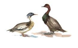 Vattenfärgen duckar illustrationen Royaltyfri Foto