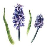 Vattenfärgen skissar av muscarien, hyacintblommor Fotografering för Bildbyråer