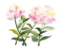 Vattenfärgen skissar av rosa pionblommor på vit Royaltyfri Bild