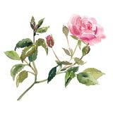 Vattenfärgen skissar illustrationen av rosa färgrosblomman Royaltyfri Fotografi