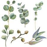 Vattenfärgeucaliptussidor vektor illustrationer
