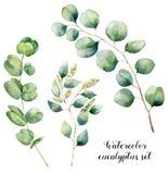 Vattenfärgeukalyptusuppsättning Den målade handen eukalyptusbeståndsdelar för den behandla som ett barn, kärnade ur och silverdol