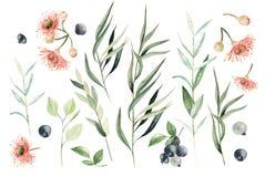 Vattenfärgeukalyptusuppsättning Hand målat eukalyptusbeståndsdelar och bär Blom- illustration som isoleras på vit bakgrund stock illustrationer
