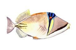 Vattenfärgfisk Illustration för havsfisk som isoleras på vit bakgrund Royaltyfria Bilder