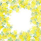 Vattenfärgillustration av blommor och filialer av mimosan på en vit bakgrund Målad hand, gul illustration för vår för friare royaltyfri illustrationer