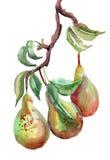 Vattenfärgillustration av pears Royaltyfria Bilder