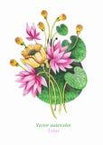 Vattenfärgillustration av rosa Lotus vektor vektor för detaljerad teckning för bakgrund blom- Arkivbild
