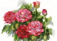 Vattenfärgillustration som visar de rosa rosorna vektor illustrationer