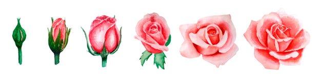 Vattenfärgillustrationuppsättning av den rosa rosen som blommar från knoppen till den öppna blomman, hand-dragit som isoleras vektor illustrationer