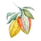 Vattenfärgkakaofrukter royaltyfri illustrationer