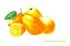 Vattenfärgkumquat Isolerad citrusfruktillustration Arkivfoton