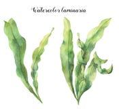Vattenfärglaminaria Handen målade undervattens- blom- illustrationen med algsidor förgrena sig isolerat på vit bakgrund royaltyfri illustrationer