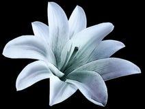 Vattenfärgliljablått-turkos blomma isolerat med urklippbanan på den svarta bakgrunden För design closeup fotografering för bildbyråer