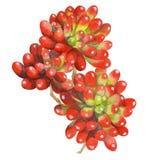 Vattenfärgmålning av den röda gelébönaväxten suckulenterna Royaltyfri Fotografi