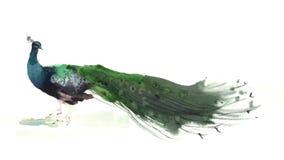 Vattenfärgpåfågelillustration Arkivfoto