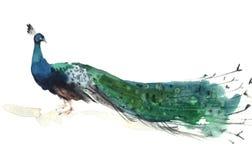 Vattenfärgpåfågelillustration Arkivfoton