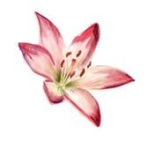 Vattenfärgröd-vit lilja Royaltyfri Fotografi