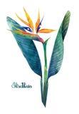 Vattenfärgstrelitziabukett vektor illustrationer