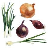 Vattenfärguppsättning av grönsaker lökar vektor royaltyfri illustrationer