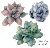 Vattenfärguppsättning med den violett, rosa färg- och gräsplansuckulenten Hand målad växt som isoleras på vit bakgrund blom- natu royaltyfri illustrationer
