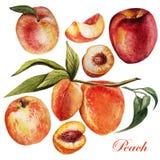 Vattenfärguppsättning med persikor på en vit bakgrund Arkivfoton