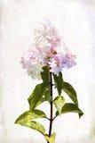 Vattenfärgvanlig hortensia royaltyfri illustrationer