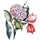Vattenfärgvanliga hortensior Arkivbild