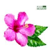 Vattenfärgvektorbakgrund med den rosa tropiska hibiskusblomman Fotografering för Bildbyråer
