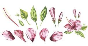 Vattenfärgvektorn isolerade illustrationen av en rosa hibiskus, tropisk blommasammansättning på en vit bakgrund 10 eps stock illustrationer