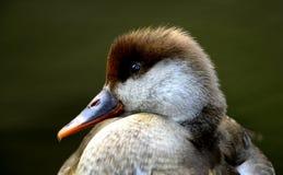 Vattenfågel Arkivbild